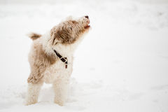 Bearded collie howling barking. Brown bearded collie barking howling winter snow Stock Images