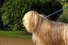 Bearded collie on leash Royalty Free Stock Images