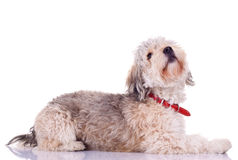 Bearded collie looking up Stock Image