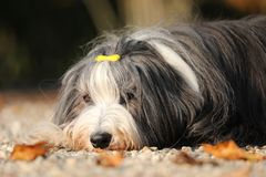 Bearded Collie. A Bearded Collie lying with autumn leaves royalty free stock image