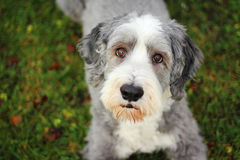 Bearded collie Stock Photography