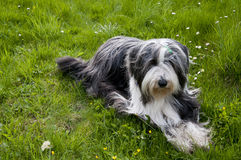 Bearded Collie Lying On Grass Royalty Free Stock Photos