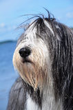 Bearded Collie by the ocean Royalty Free Stock Photo