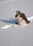 Bearded Collie Playing in Snow Stock Images