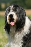 Bearded Collie. Portrait of a beautiful Bearded Collie stock photo
