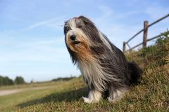 Bearded Collie portrait Royalty Free Stock Images
