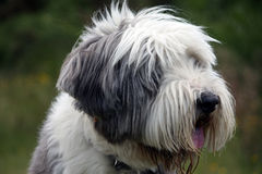 Bearded Collie in profile. Bearded Collie dog portrait in close up Stock Images