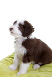 Bearded collie pup Royalty Free Stock Photo