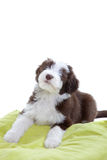 Bearded collie pup Stock Photography