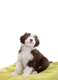 Bearded collie pup. Cute young bearded collie pup sitting on a pillow Stock Photo