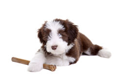 Bearded collie pup Royalty Free Stock Photography