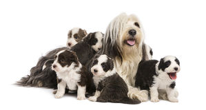 Bearded Collie puppies, 6 weeks old. Around their mother sitting against white background Royalty Free Stock Image