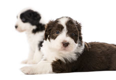 Bearded Collie puppies, 6 weeks old, lying Royalty Free Stock Image