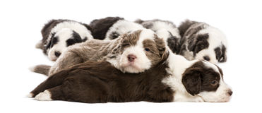 Bearded Collie puppies, 6 weeks old, lying Stock Photos