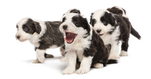 Bearded Collie puppies, 6 weeks old, sitting Stock Photography