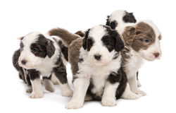 Bearded Collie puppies, 6 weeks old, sitting Stock Images