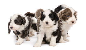 Bearded Collie puppies, 6 weeks old, sitting Royalty Free Stock Photo
