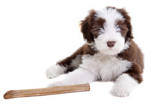 Bearded collie puppy Royalty Free Stock Images