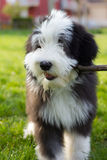 bearded collie puppy Stock Images