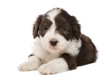 Bearded Collie puppy, 6 weeks old, lying. Against white background Stock Photography