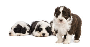 Bearded Collie puppy, 6 weeks old, standing Stock Photography