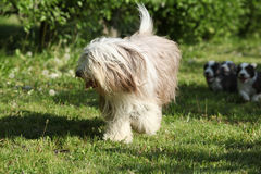 Bearded Collie running in the garden Stock Photos