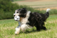 Bearded Collie. Running Bearded Collie having fun royalty free stock photos
