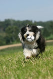Bearded Collie. Running Bearded Collie having fun stock images