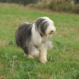 Bearded collie running in nature Stock Photo
