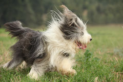 Bearded collie running in nature Royalty Free Stock Image