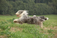 Bearded collie running in nature Stock Photos