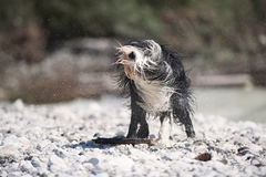 Bearded Collie shaking off water. Royalty Free Stock Image