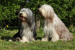 Bearded Collie sitting in the garden Stock Image