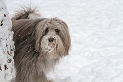 Bearded Collie in snow. Marking a tree Royalty Free Stock Photography