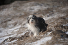 Bearded collie with soft and furry coat Stock Photography