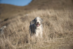 Bearded collie standing in brown meadow on mountains.  stock photography