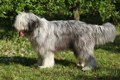 Bearded collie standing in the grass alone Stock Photos