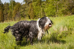Bearded Collie Sticking Its Tounge Out Stock Photography