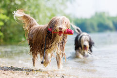 Bearded collie with treat bag walks in lake Stock Photo