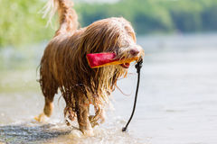 Bearded collie with treat bag walks in lake Royalty Free Stock Photo