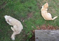 Bearded Collie und labrador retriever teilen eine Sommerfrist stockbild