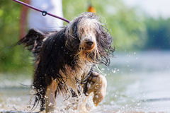 Bearded collie walking in a lake Stock Image