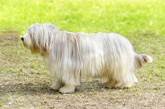Bearded Collie Stock Image