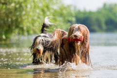 Bearded collies in a lake Stock Image