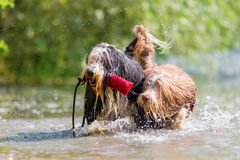 Bearded Collies with treat bag in the snout. Two Bearded Collies with treat bag in the snout walking together in a lake stock photos