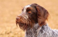 Bearded czech pointer portrait Royalty Free Stock Photos