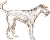 Bearded dog Stock Image