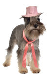 Bearded dog wearing pink hat and tie Stock Photography