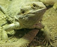 Bearded Dragon 10 Royalty Free Stock Photos