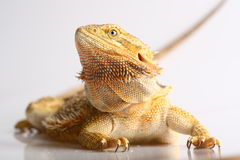 Bearded Dragon. Juvenile Bearded Dragon on white background stock photography